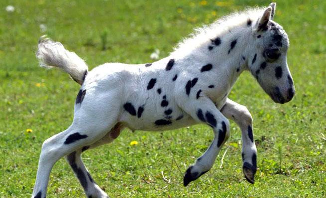 Falabella hevonen