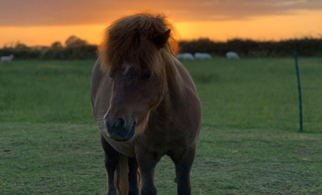 Shetlannin poni laitumella